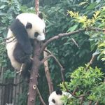 【中國四川】成都市郊景點推薦- 熊貓保育園區, 樂山大佛, 峨嵋山